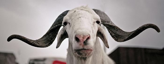 Mouton de la Tabaski au Sénégal